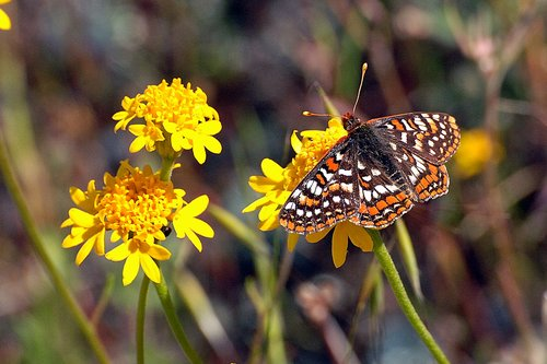 Variable Checkerspot - Euphydryas chalcedona - Bagby CA 4-25-10_207.jpg