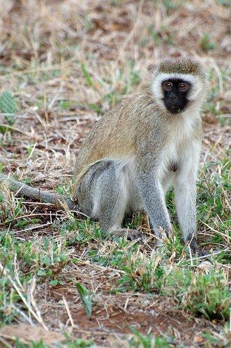 Vervet Monkey - Chlorocebus pygerythrus - Amboseli NP Kenya 10-10-07 2_111.jpg