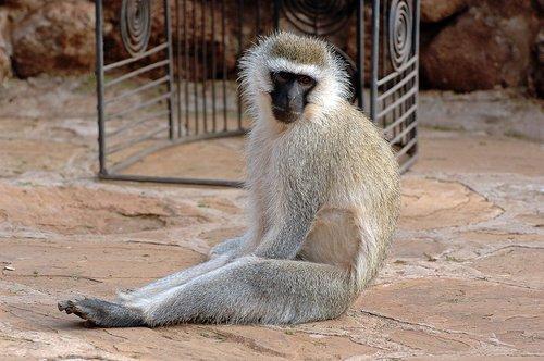Vervet Monkey - Chlorocebus pygerythrus - Amboseli NP Kenya 10-10-07 2_179.jpg