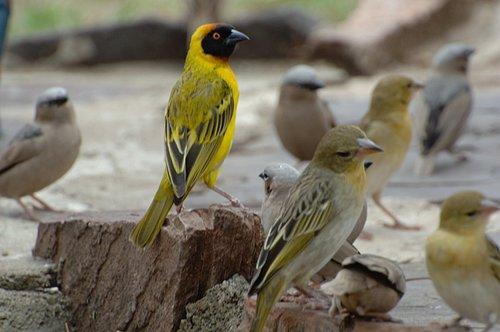 Village Weaver - Ploceus cucullatus - Serengeti NP 10-14-07 1_365.jpg