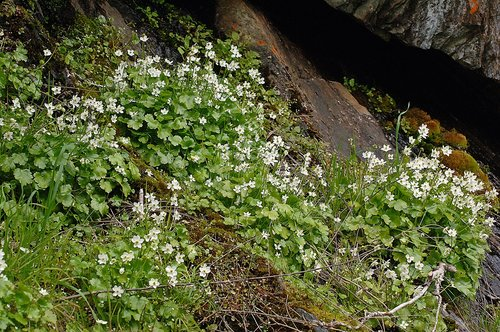 Waterfall False Buttercup - Ranunculus hystriculus - Hites Cove CA  3-5-11_213.jpg