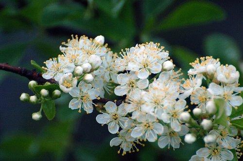 Western Choke Cherry - Prunus virginiana demissa - Hogdon Meadow CA 6-14-09_006.jpg