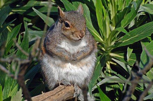 Western Gray Squirrel - Sciurus griseus - San Francisco CA 12-25-09 1_162.jpg