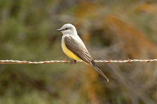 Western Kingbird - Tyrannus verticalis - Carrizo Plain CA 4-8-11 4-10-11_077.jpg