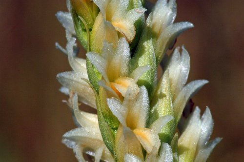 Western Ladies Tresses - Spiranthes porrifolia - Dardenelles CA 8-8-09_050.jpg