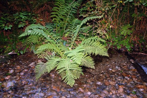 Western Lady Fern - Athyrium filix-femina cyclosorum - Fern Canyon CA 9-11-09_140.jpg