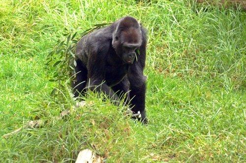 Western Lowland Gorilla - Gorilla gorilla gorilla - Central Africa 10-8-09_096.jpg