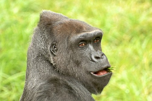 Western Lowland Gorilla - Gorilla gorilla gorilla - Central Africa 10-8-09_113.jpg