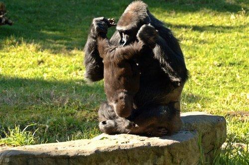 Western Lowland Gorilla - Gorilla gorilla gorilla - Central Africa 12-25-09 1_123.jpg