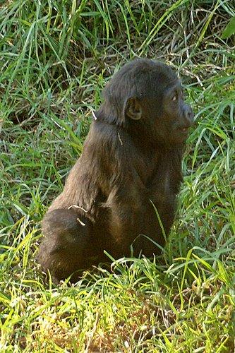 Western Lowland Gorilla - Gorilla gorilla gorilla - Central Africa 12-25-09 1_134.jpg