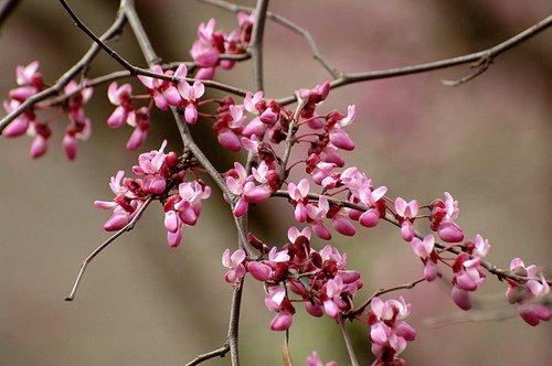 Western Redbud - Cercis occidentalis - Hites Cove CA 3-19-11_003.jpg