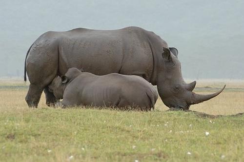 White Rhinoceros - Ceratotherium simum - Lake Nukuru NP Kenya 10-8-07_219 (2).jpg