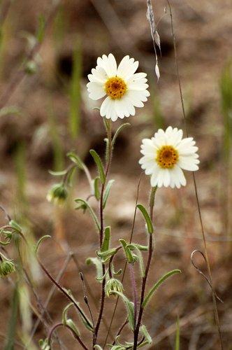 White Tidy Tips - Layia glandulosa - Carrizo Plain CA 4-8-11 4-10-11_031.jpg