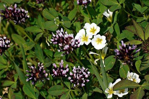 White Tipped Clover - Trifolium variegatum - Chinese Camp CA 1 4-16-11_145.jpg