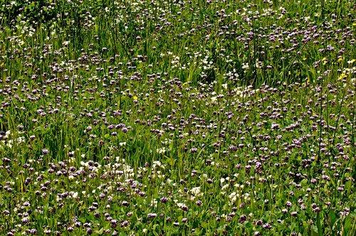 White Tipped Clover - Trifolium variegatum - Chinese Camp CA 1 4-16-11_181.jpg