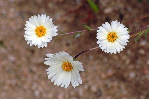 White tidy tips - Layia glandulosa - Avanela Wildflower Area CA 4-3-10_196.jpg