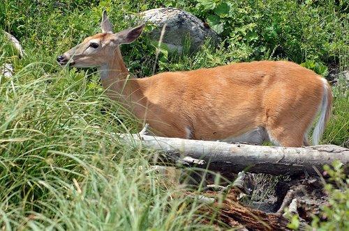 White-tailed Deer - Odocoileus virginianus - Glacier NP Montana 7-15-08_047.jpg