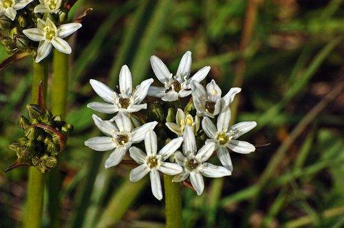 Wild Hyacinth - Triteleia hyacinthine - Chinese Camp CA 1 4-16-11_321.jpg
