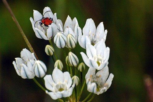 Wild Hyacinth - Triteleia hyacinthine - Hetch Hetchy CA 6-14-09_258.jpg