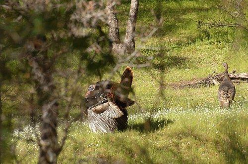 Wild Turkey - Meleagria gallopavo - Bagby CA 3-26-10_148.jpg