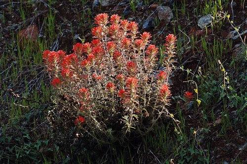Woolly Indian Paintbrush - Castilleja foliolosa - Briceburg CA 4-25-10_131.jpg