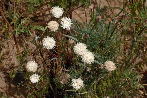 Xantus Pincusion Flower - Antelope Valley 4-17-10_009.jpg