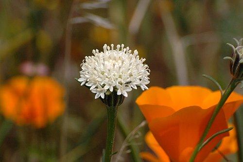 Xantus Pincusion Flower - Antelope Valley 4-17-10_016.jpg
