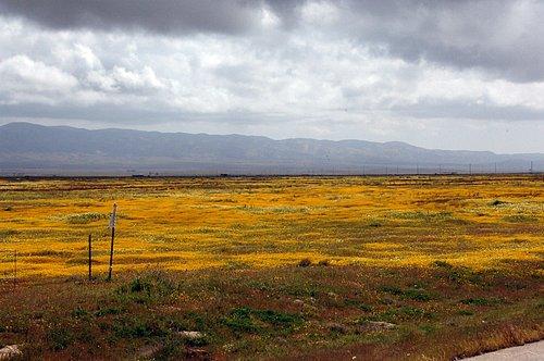 Yellowray Goldfields - Lasthenia glabrata - Carrizo Plain 4-2-10_188.jpg