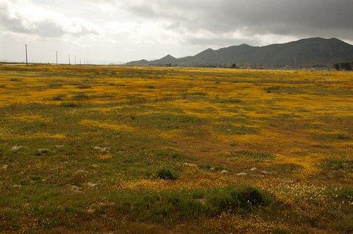 Yellowray Goldfields - Lasthenia glabrata - Carrizo Plain CA 4-2-10_186.jpg