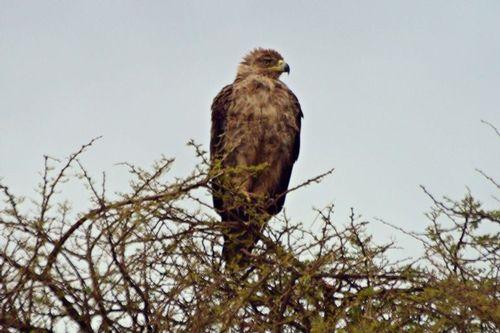AFRICA 2014AMBOSELI D800  072 11-11-14CE-201411101200 PIX.jpg