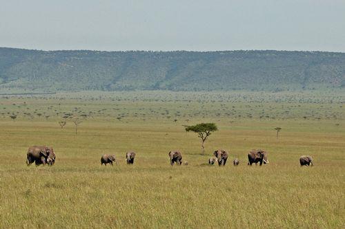 African Elephant  - Loxodonta Africana - Masai Mara NP Kenya D2X 080 11-8-14CE.jpg
