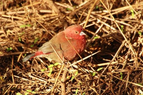 African Firefinch - Lagonosticta rubricate - Ngorongoro NP Tanzania D2X 097 11-18-14E.jpg