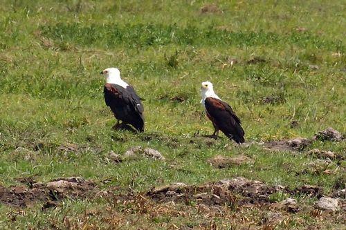 African Fish Eagle - Haliaeetus vocifer - Amboseli NP Kenya D2X  030 11-11-14CE.jpg