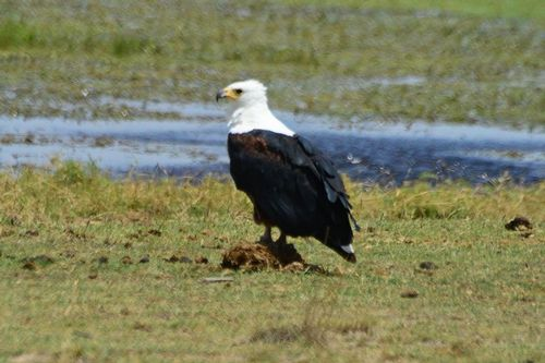 African Fish Eagle - Haliaeetus vocifer - Amboseli NP Kenya D800 273 11-11-14CE.jpg