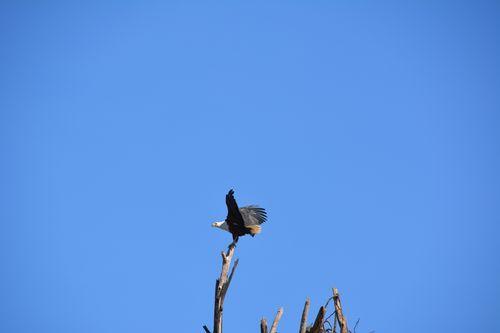 African Fish Eagle - Haliaeetus vocifer - Lake Navashia NP Kenya D5200 439 11-7-14.jpg