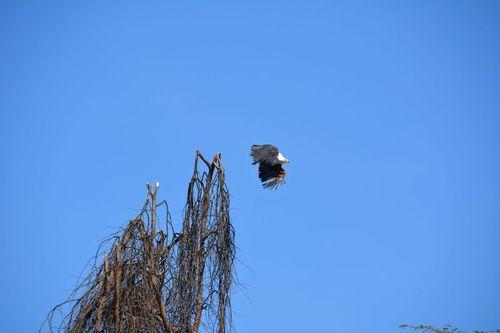 African Fish Eagle - Haliaeetus vocifer - Lake Navashia NP Kenya D5200 484 11-7-14.jpg