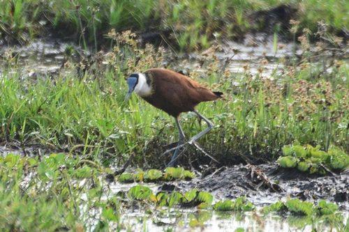 African Jacana - Actophilornis Africana - Amboseli NP Kenya D800 021 11-12-14CE.jpg