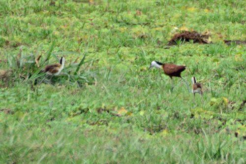 African Jacana - Actophilornis Africana - Amboseli NP Kenya D800 178 11-11-14CE.jpg