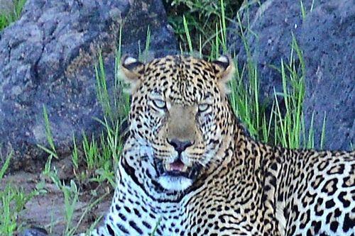 African Leopard - Panthera pardus pardus - Masai Mara NP Kenya D800 125 11-8-14CE2.jpg