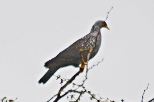 African Olive-Pigeon - Columba arquatrix - Ngorongoro NP Tanzania D800 083 11-19-14CE.jpg