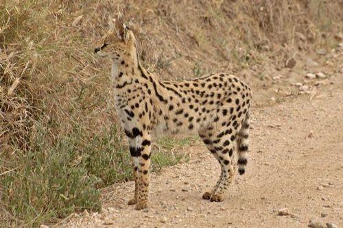 African Serval - Leptailurus serval - Serengeti NP Tanzania D2X 116 11-16-14CE.jpg