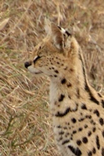 African Serval - Leptailurus serval - Serengeti NP Tanzania D2X 120 11-16-14CE.jpg