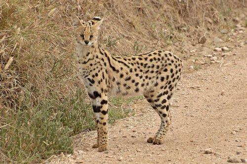 African Serval - Leptailurus serval - Serengeti NP Tanzania D2X 125 11-16-14CE.jpg
