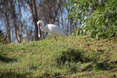 African Spoonbill - Platalea alba - Lake Navashia NP Kenya D5200 220 11-7-14.jpg