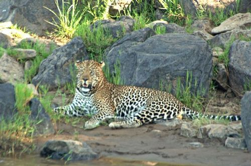 African leopard - Panthera pardus pardus - Masai Mara NP Kenya D2X 072 11-8-14E.jpg
