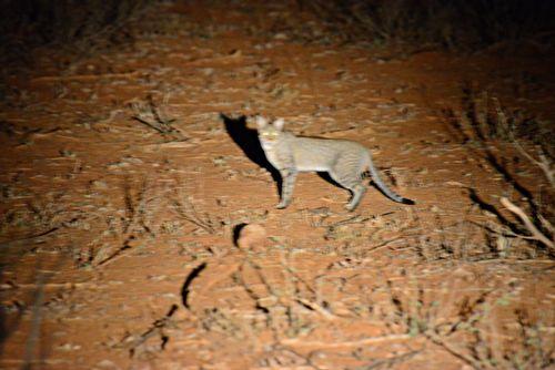 African wildcat - Felis silvestris lybica - Tsavo West NP Kenya D800 438 11-12-14E.jpg