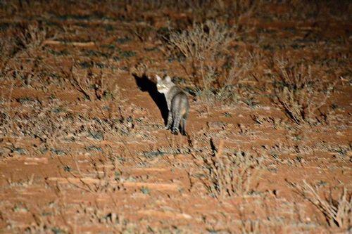 African wildcat - Felis silvestris lybica - Tsavo West NP Kenya D800 443 11-12-14CE.jpg
