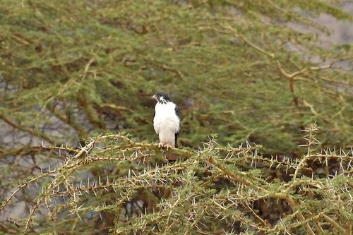 Auger Buzzard - Buteo augar - Ngorongoro NP Tanzania D2X 050 11-19-14CE.jpg
