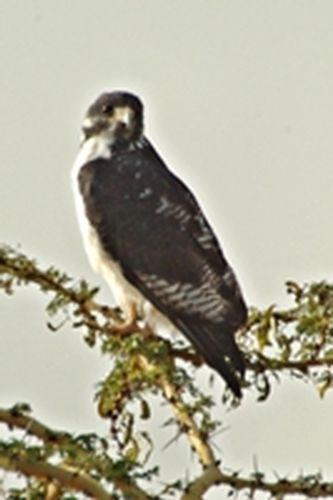 Augur Buzzard - Buteo augur - Ngorongoro NP Tanzania D2X 109 11-18-14CE.jpg