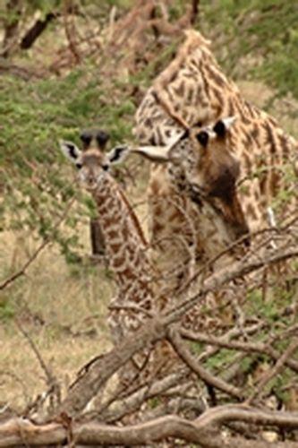 Baby Masai Giraffe - Giraffa camelopardalis tippelskirchi - Serengeti D2X 081 11-15-14CE.jpg